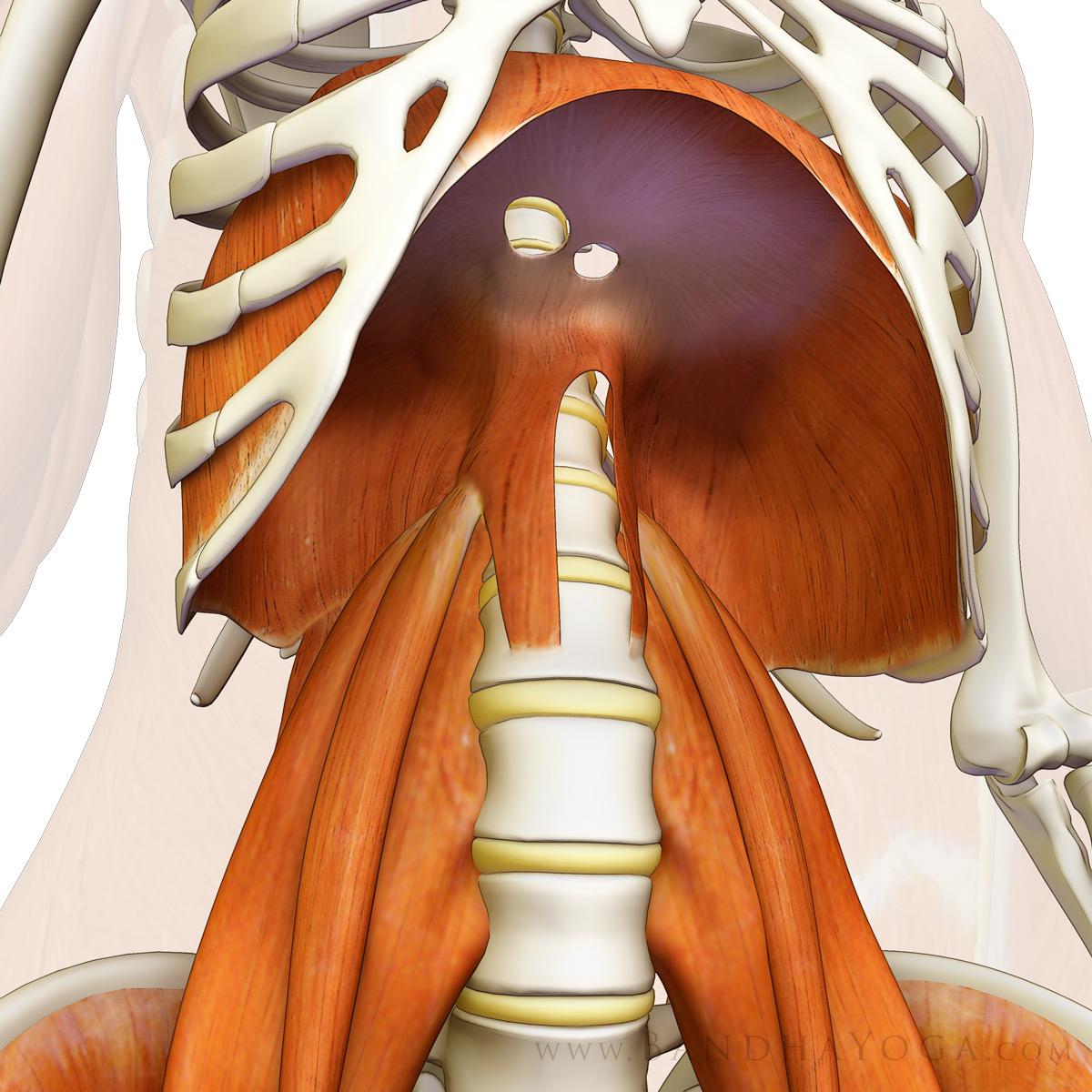 diaphragm_psoas